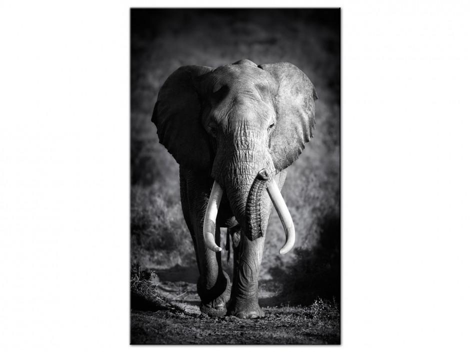 Tableau aluminium photo L'éléphanteau en noir et blanc