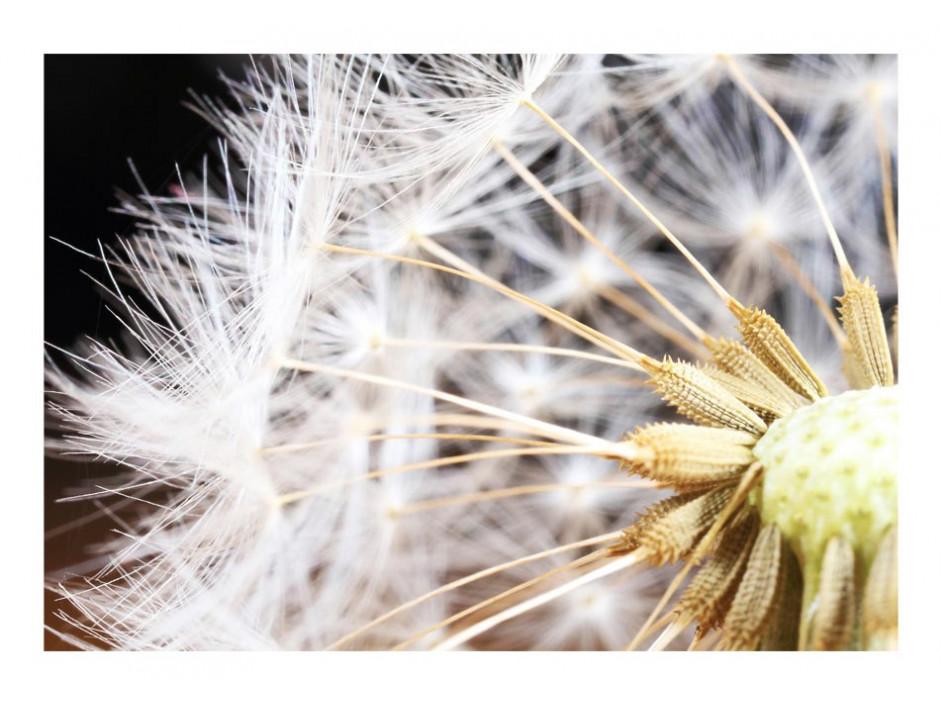 Papier peint  Fluffy dandelion